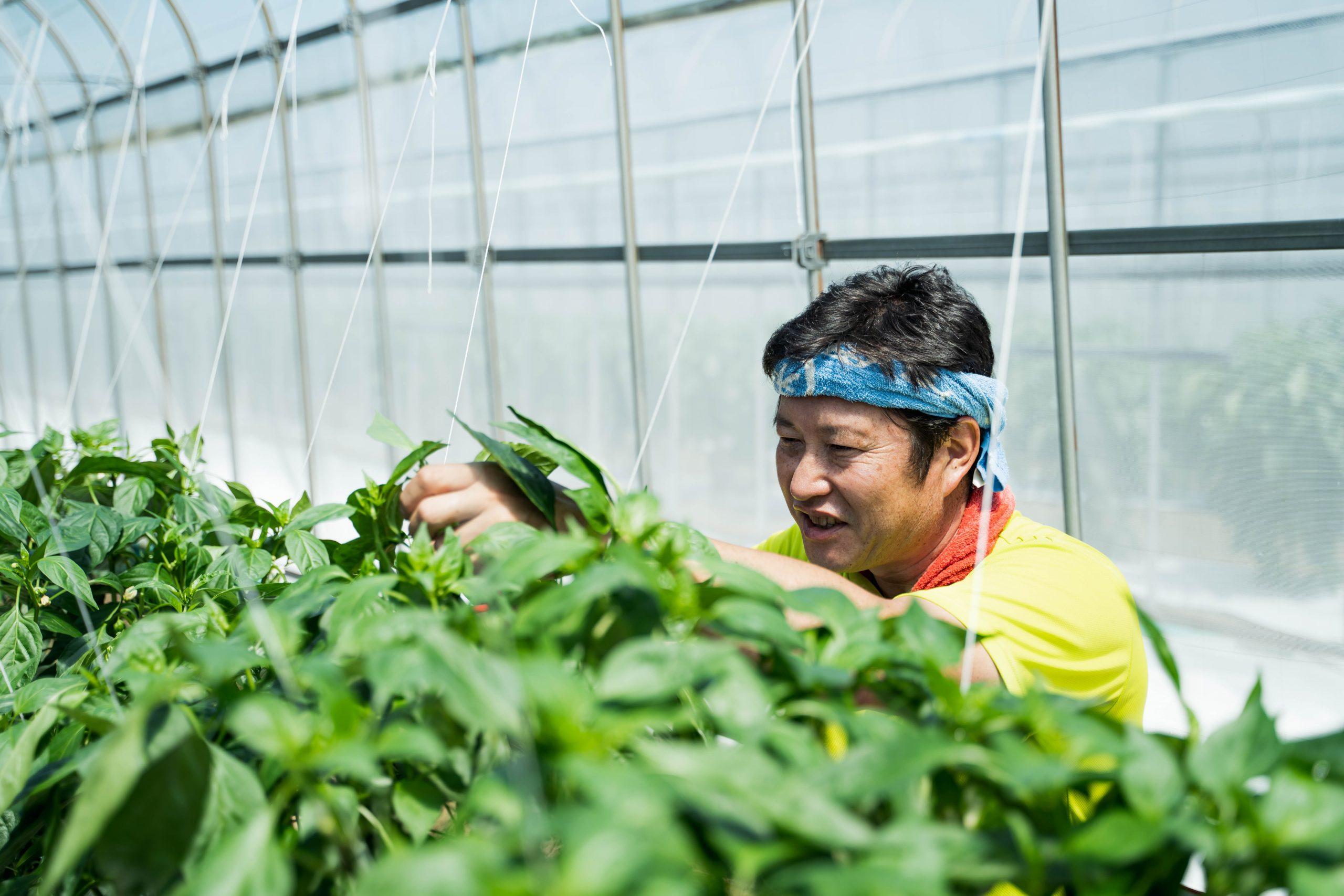 ピーマンを収穫をする農家の福山さん