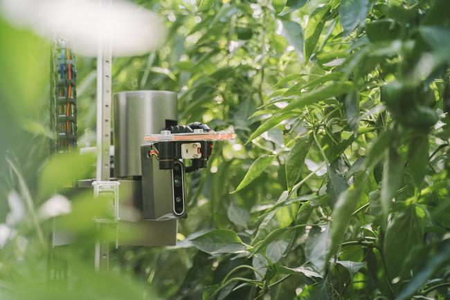 ピーマンを自動収穫するロボット